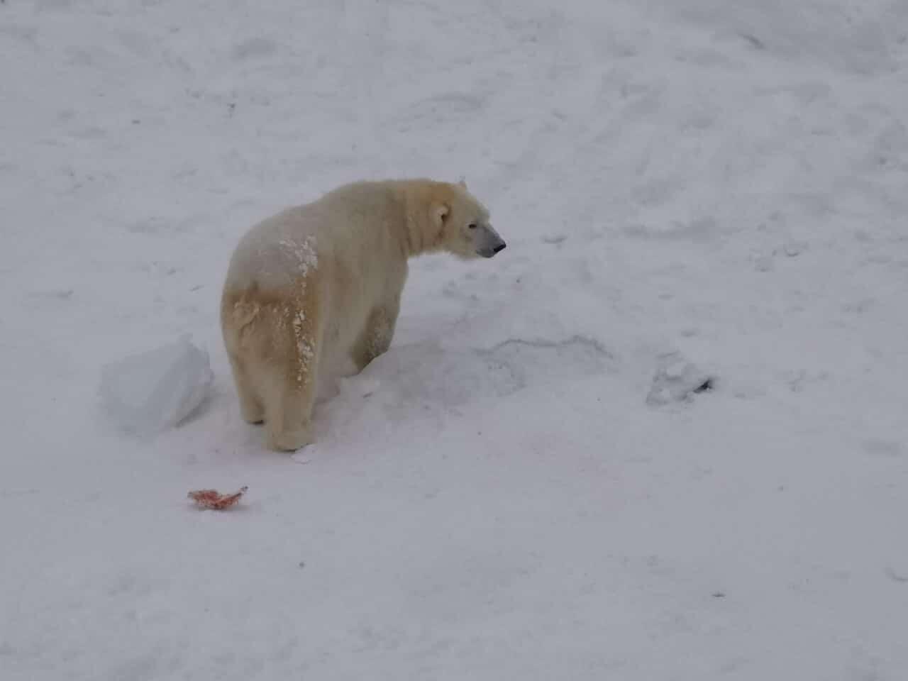 Jokamies-Teslalla-talvella-Nordkappiin-Jääkarhu